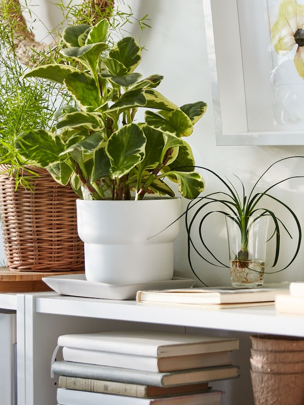 A leafy plant in a white plastic plant pot, placed beside other plants on a white shelf unit filled with books.