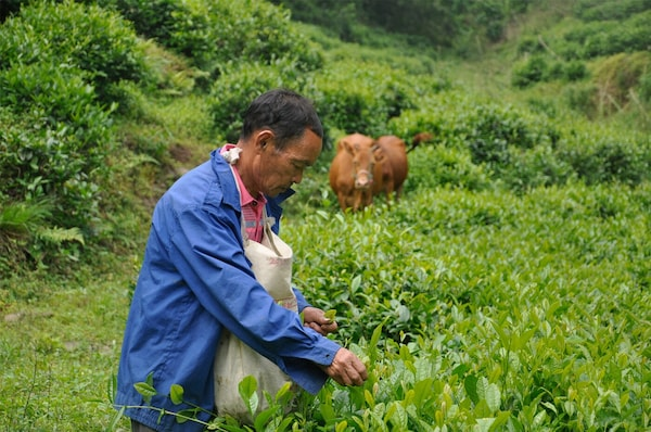 A man in a field of greenery around him with a cow in the background.