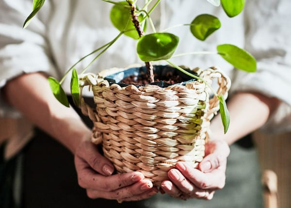 A person holding a plant in a plant pot.