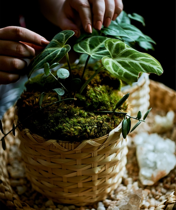 A plant covered in moss in a natural woven pot.