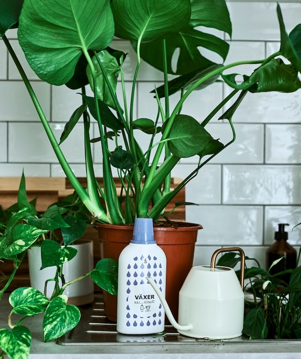 A potted Monstera plant on a draining board next to a bottle of plant feed and a gold handled watering can.
