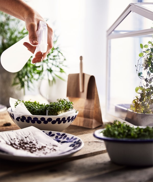 A rough wooden table with a ceramic plate and bowls with seeds and home-grown cress on paper, being sprayed with water.
