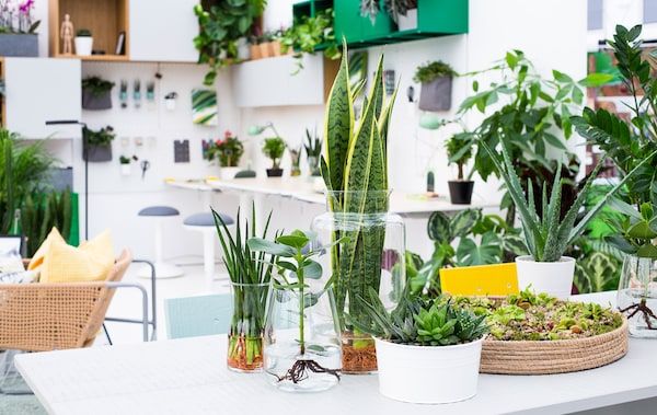 A selection of plants in clear glass vases and potted succulents on a white desk