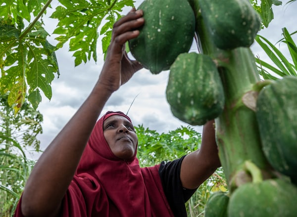 A Somali refugee, Kaha Abdula, reaching up to feel the papayas growing on her tree.