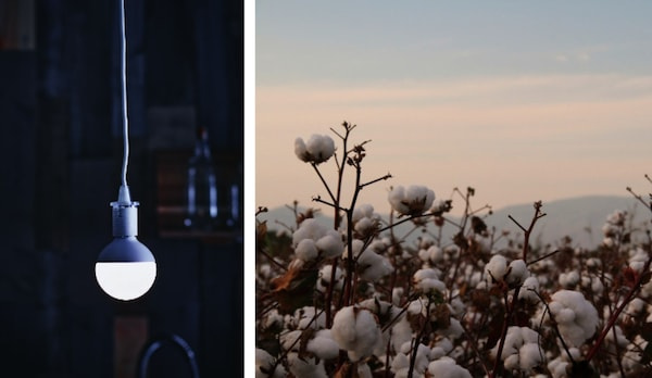 A split photo showing a single LED light bulb hanging from the ceiling and cotton in its natural environment.