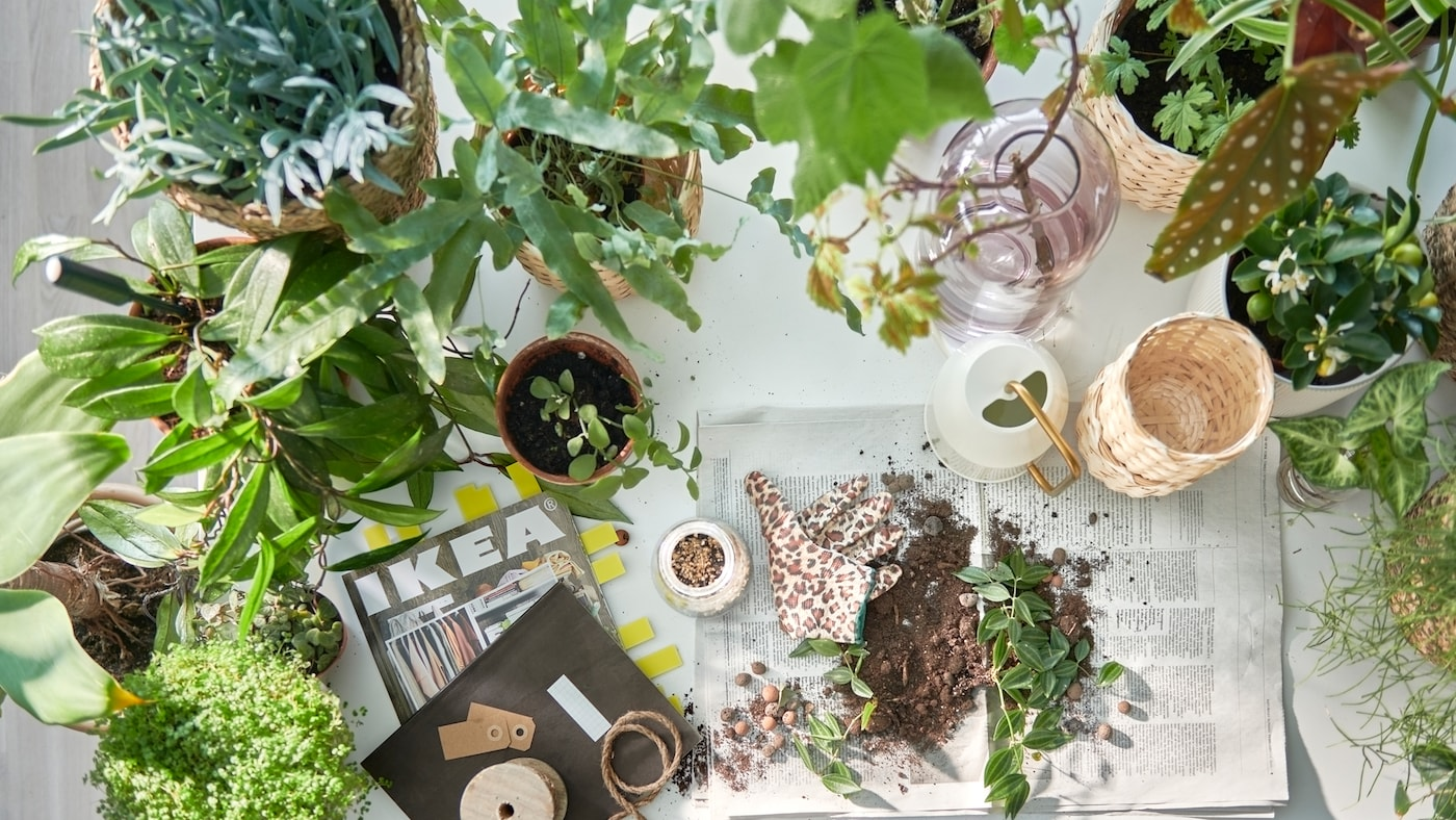 A table prepped for potting plants, plenty of green plants in pots, the IKEA catalogue, and soil on newspaper pages.