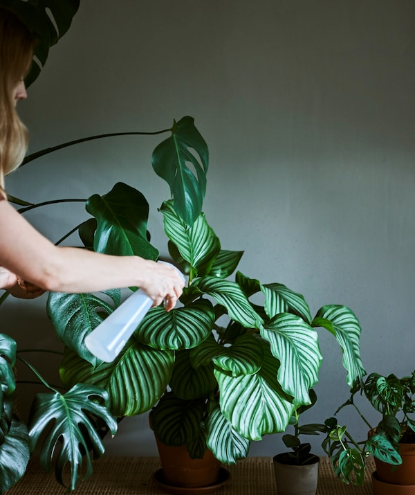 A woman using a plastic bottle with nozzle to spritz the leaves of a Calathea plant that is part of a group of houseplants.