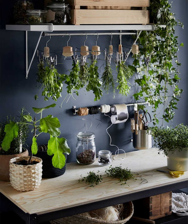 A wooden worktop with scattered pots of fresh herbs, a row of bouquets of drying herbs hung in hangers above.
