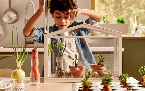 A young boy lifting the lid of a planting greenhouse on a tabletop with carrots and onions growing in glasses and trays.