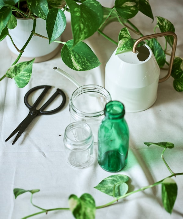 An Epipremnum plant on a cloth-covered table with two plain and one green glass jar, cream watering can and black scissors.