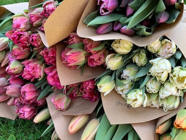 Bunches of picked tulips
