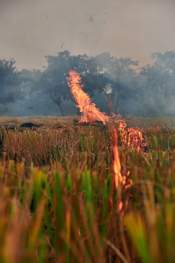 Burning stalks in a rice field.
