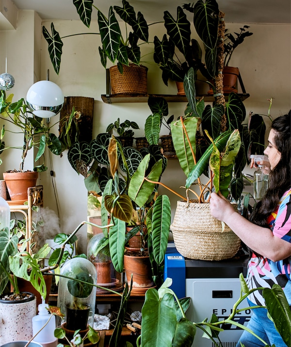 A young woman watering a large collection of rare tropical plants next to the window of a home office.