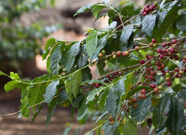 Chicchi rossi di caffè su rami pieni di foglie - IKEA