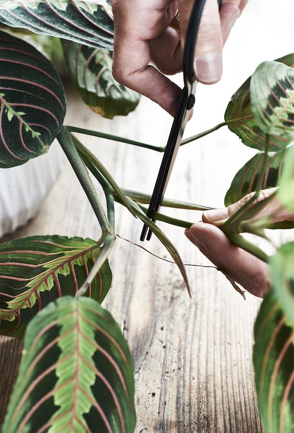 Ciseaux en train de couper la tige d'une plante.