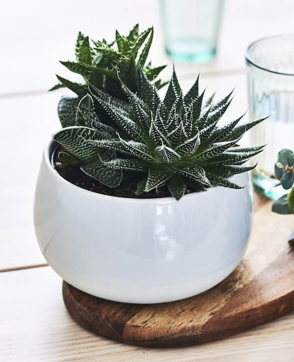 Close-up of a dark green potted succulent plant in a white pot.