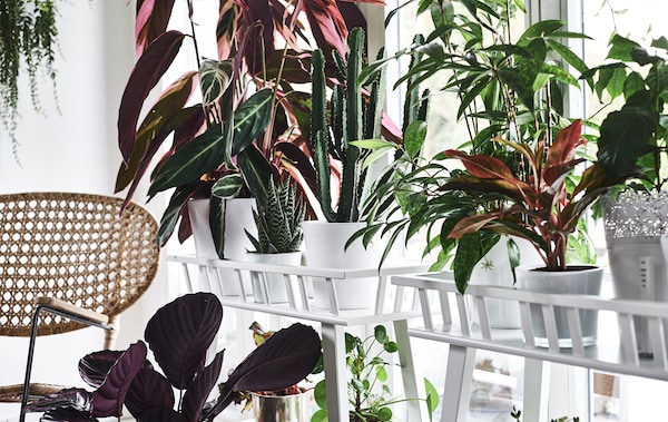 Colourful plants on plant stands in front of a window and a wicker chair.