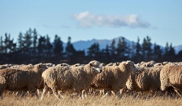 Des centaines de moutons broutent au soleil tout en produisant de la laine pour les tapis IKEA.