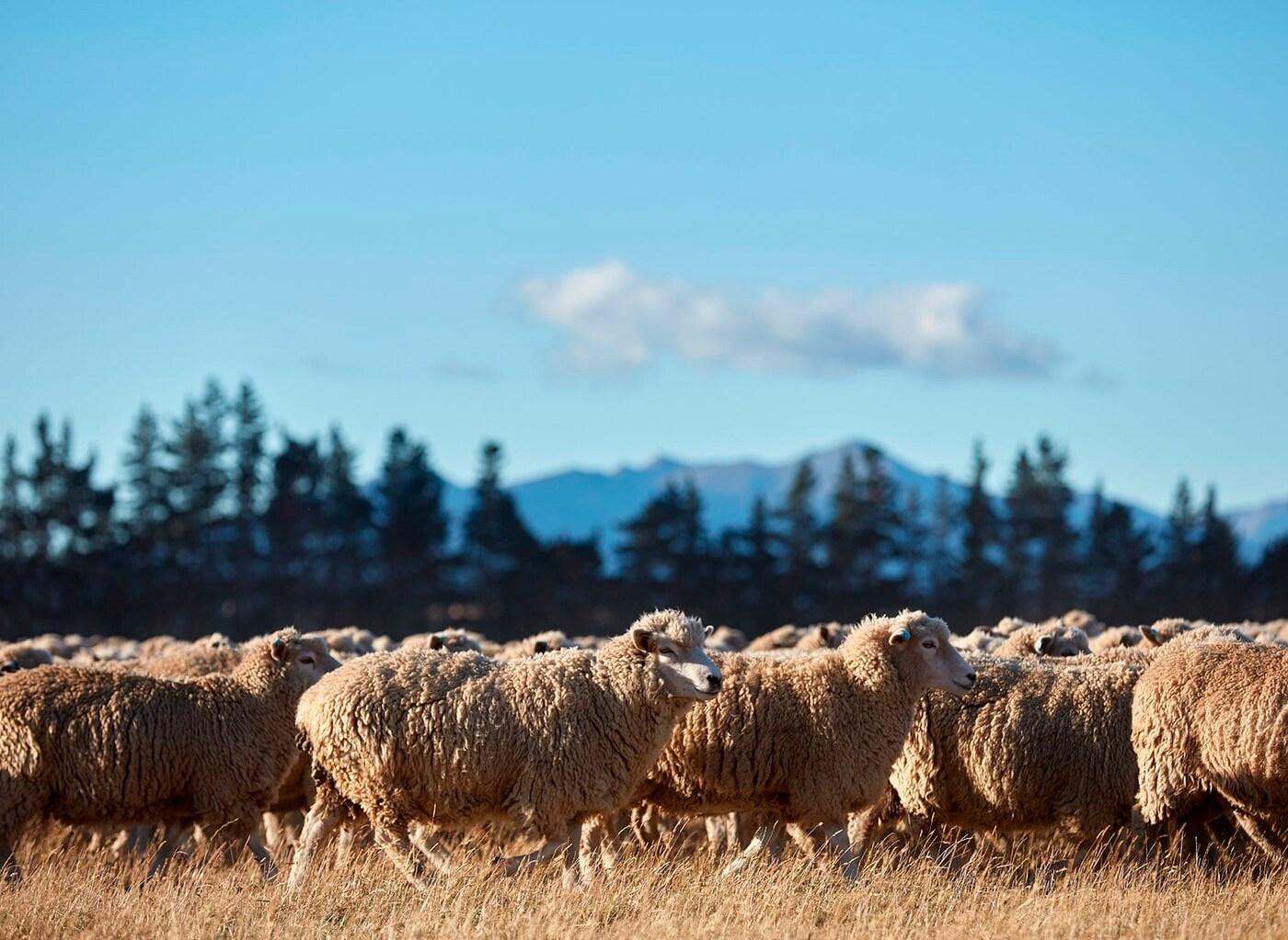 Des centaines de moutons dans un pré au soleil, avec des arbres et des montagnes en arrière-plan.