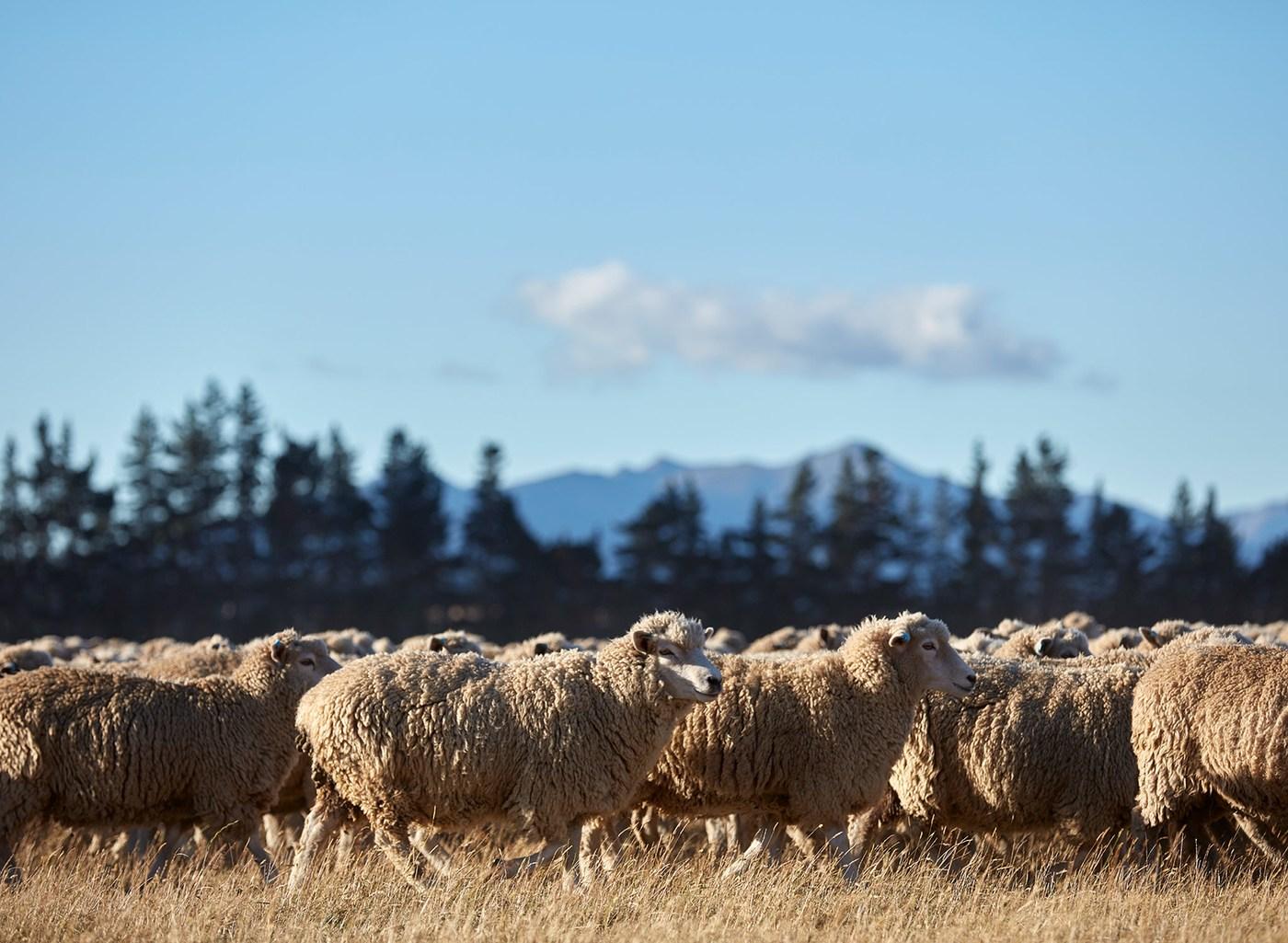 Des centaines de moutons en train de paître au soleil, avec des arbres et des montagnes en arrière-plan.