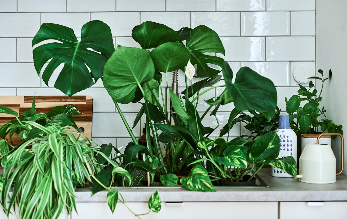 Des plantes d'intérieur, dont un Monstera et une fleur de lune, dans un évier; sur le plan de travail, un arrosoir à anse dorée et de l'engrais.