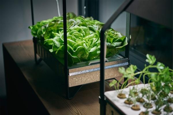 Deux kits de jardinage intérieur hydroponique KRYDDA/VÄXER et des herbes fraîches ou laitues luxuriantes.