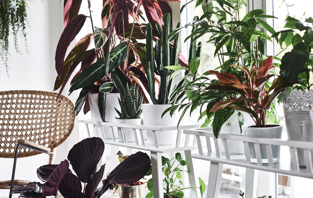 Devant la fenêtre, un fauteuil en osier et plusieurs plantes variées et colorées posées sur des piédestaux.