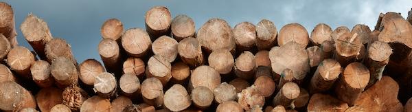 Dezenas de troncos recém-cortados de vários tamanhos, deitados uns sobre os outros.