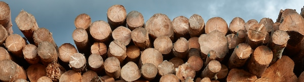 Dozens of freshly cut logs of various sizes are lying on top of each other.