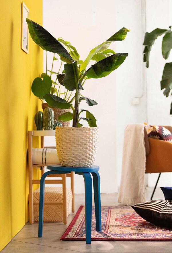 een bananenplant in een rotan bloempot op een blauw houten krukje tegen een gele muur