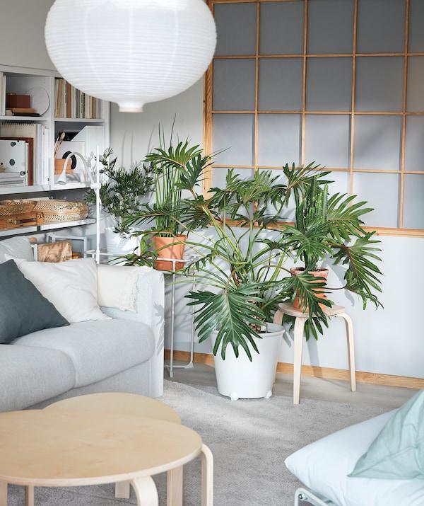 Egy nappali sarka, burjánzó növényekkel. Nagy MONSTRERA növény egy IKEA PS FEJÖ gurulós virágtartóban.