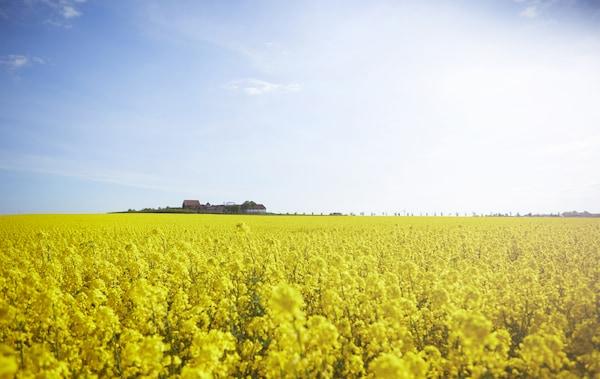 Ein Feld mit gelbem Raps