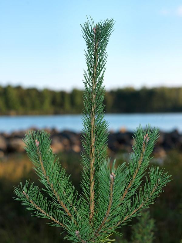 Ein grüner Tannenschössling steht vor einem See, der von weiteren Bäumen umgeben ist.