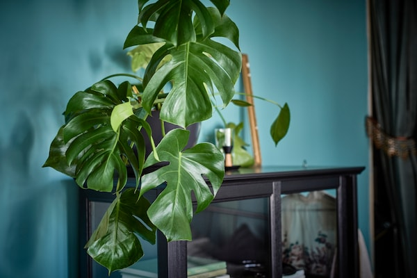 Eine grosse Pflanze auf einem Vitrinenschrank