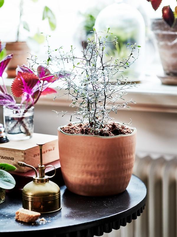 Eine Grünpflanze wächst in einem mittelgroßen Übertopf aus Terrakotta, der auf einem kleinen runden Tisch steht.