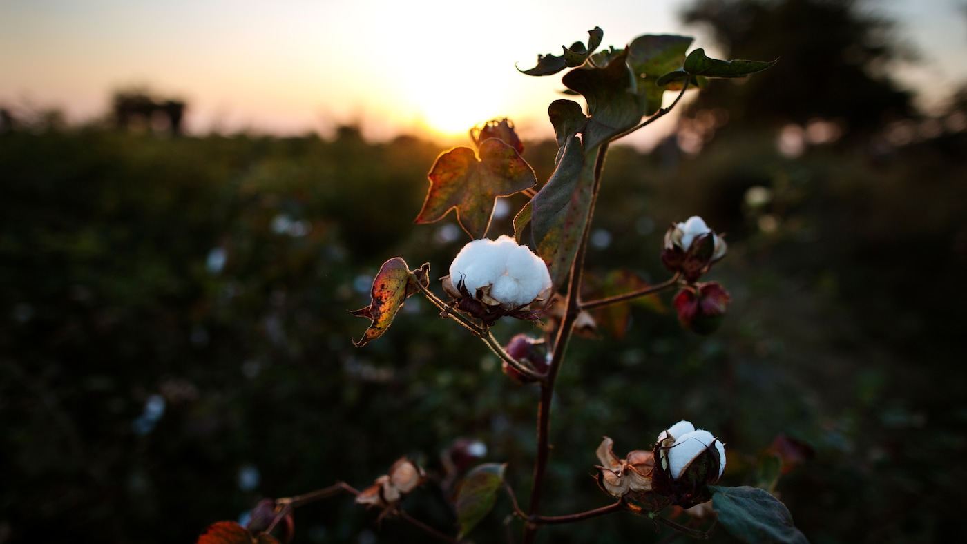 En hållbar bomullsodling.