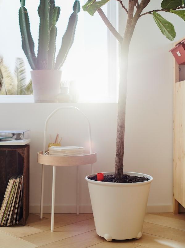 Finestra luminosa con un cactus e una grande pianta di fico in un vaso a riserva d'acqua IKEA PS FEJÖ bianco appoggiato a terra.