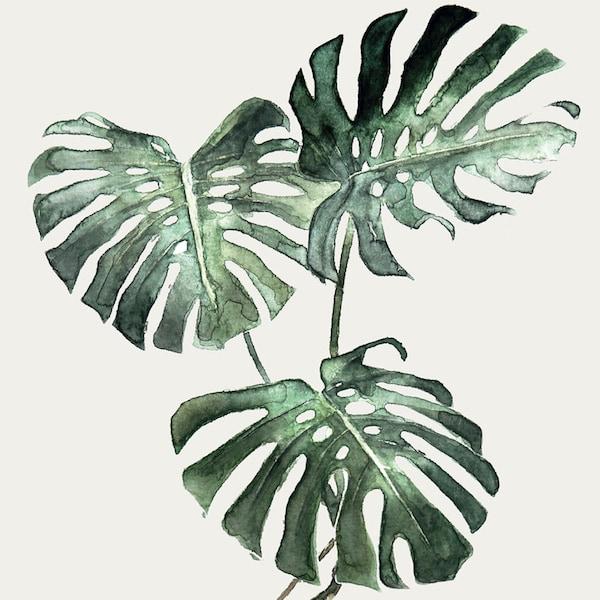 Folhas da planta Monstera sobre um fundo branco.
