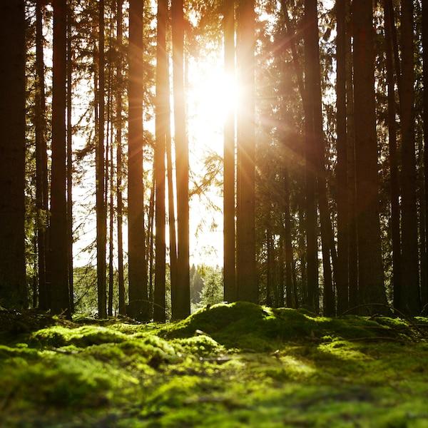 Forêt de pins à l'aube, le sol couvert de mousse et la lumière du soleil brillant à travers les arbres.