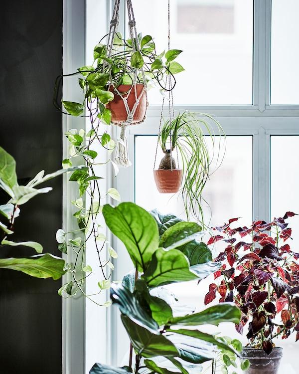 Fyra gröna växter i ett ljust fönster. En ampel i beige bomull och en annan i keramik.