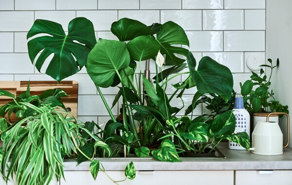 Houseplants, including Monstera and peace lily, in a sink with a gold-handled watering can and plant feed on the counter.