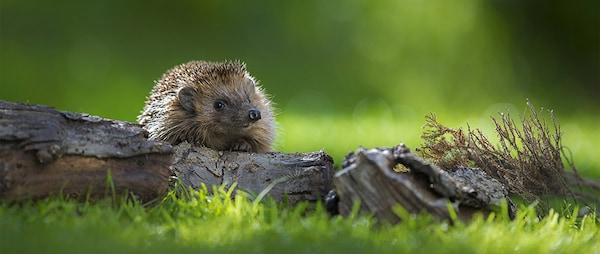 Igel freuen sich über einen Unterschlupf im Garten.