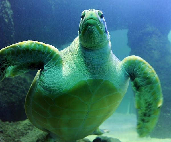 Image of a green sea turtle.