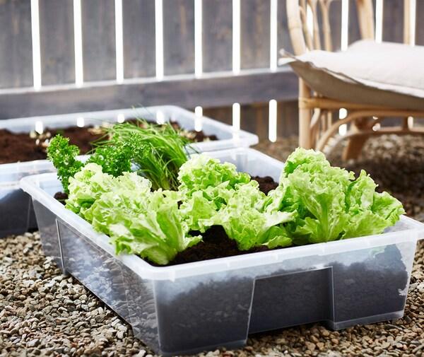 Kirkkaanvihreä salaatti, persilja ja muut yrtit, jotka on istutettu SAMLA-säilytysastioihin soralle.