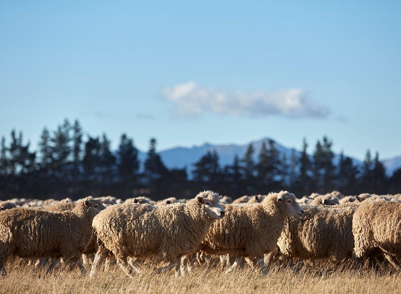 Kudde schapen graast in de zon, met bomen en bergen op de achtergrond