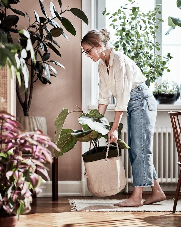 Kvinnlig urban odlare flyttar runt en stor växt i en planteringskasse. Visas i ett vardagsrum.