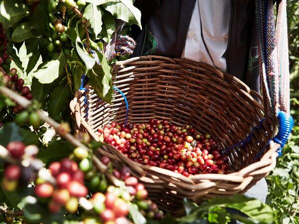 Le savais-tu? Tout le café servi et vendu chez IKEA est certifié UTZ depuis 2008. Aujourd'hui, les grains de café IKEA PÅTÅR sont aussi cultivés de façon biologique, sans recours à des engrais et des pesticides de synthèse.