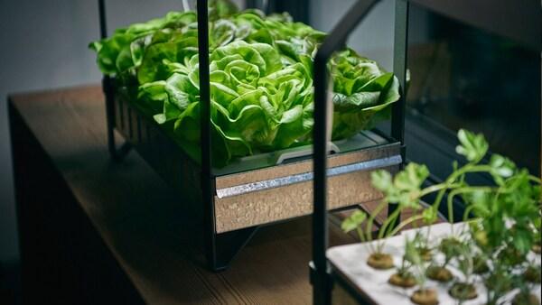 Le set de culture hydroponique KRYDDA/VÄXER dans lequel se trouvent des légumes verts à différents stades de croissance.