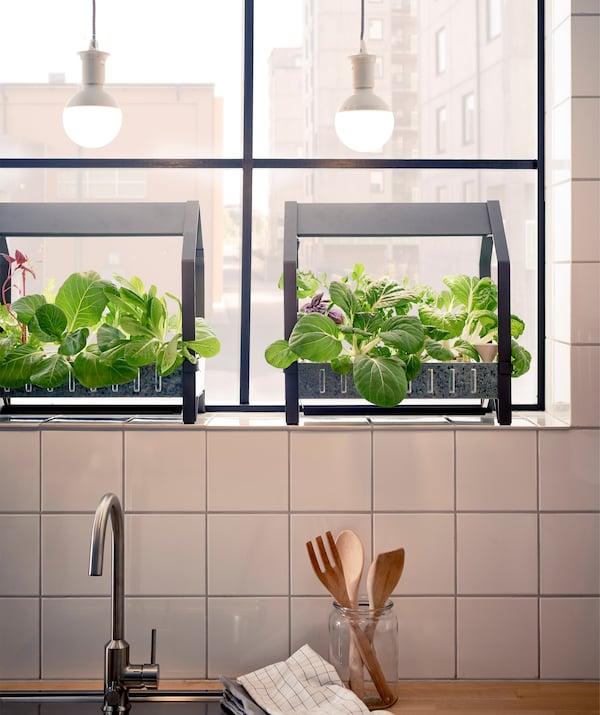 Liście rosnące na regale do upraw na parapecie, z żarówkami powyżej i kuchennym zlewem poniżej.