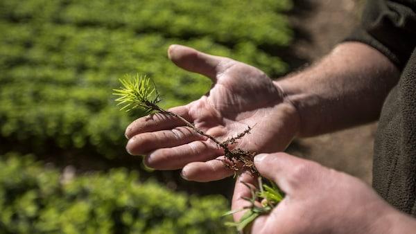 Man's hands holding a tree sapling
